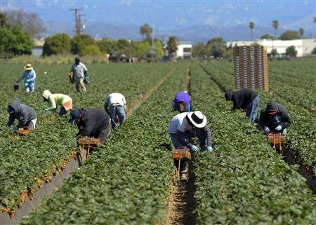 strawberry pickers Oxnard