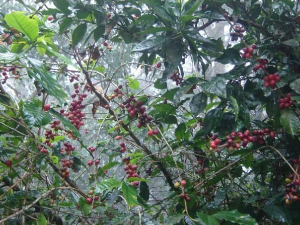 "Coffee and oranges are the ""cash crops"" in the La Joya area"