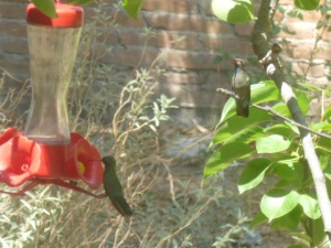 A menudo dos y mas colibris se acercan al comedoro/ Frequently there are two or more of the little ones at the feeders