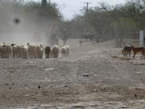 In Los Remedios the sheep, goats and cattle, seen here in front of the Church, are the primary cash earners