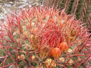 "The barrel cactus also produces a fruit - called ""biznaches"" - that are prized eating"