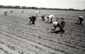 """The Farmworkers' Union successfully organized opposition to use of the """"short handled hoe""""/ """"El cortito"""" azodón fue prohibido gracias a los esfuerzos de la Union de Campesinos en los 80's."""