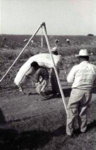 Weighing cotton/Pesando algodón